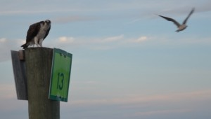 Osprey on Marker